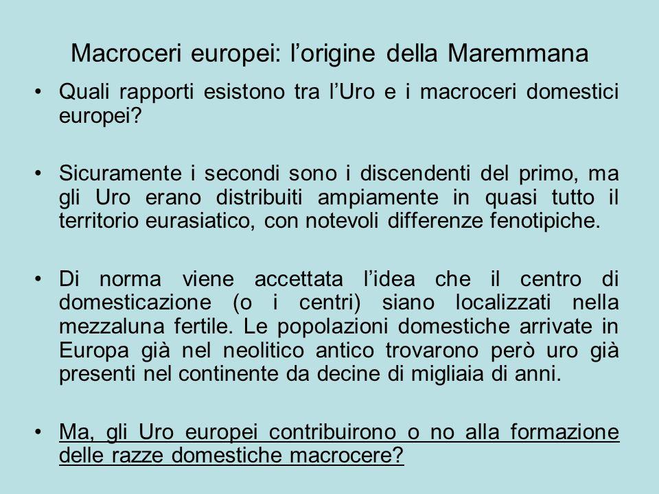 Macroceri europei: l'origine della Maremmana Quali rapporti esistono tra l'Uro e i macroceri domestici europei? Sicuramente i secondi sono i discenden
