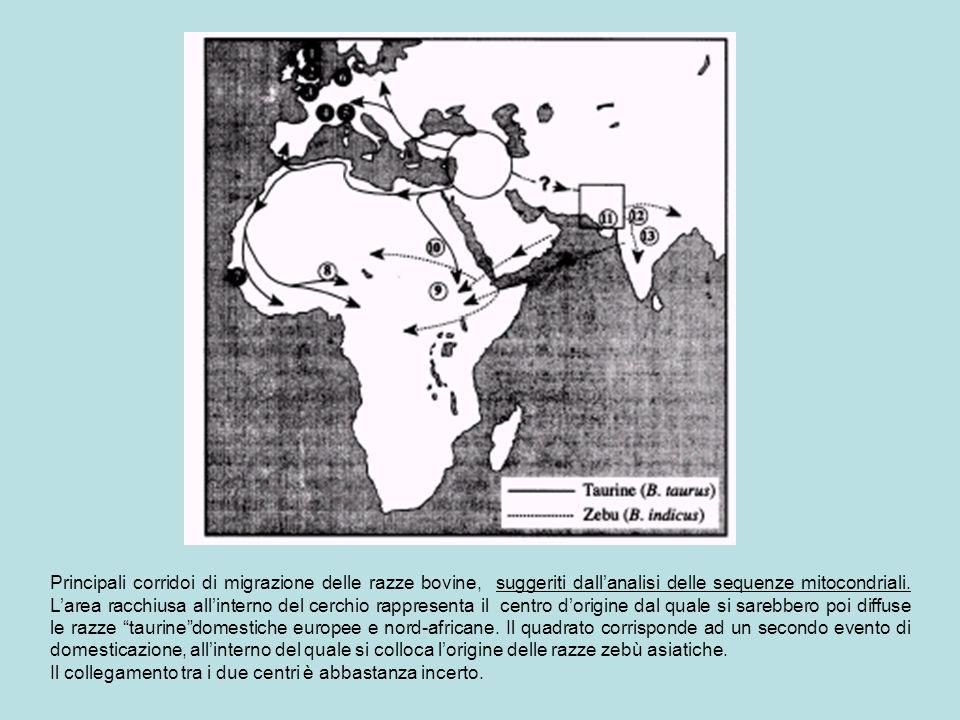 Principali corridoi di migrazione delle razze bovine, suggeriti dall'analisi delle sequenze mitocondriali. L'area racchiusa all'interno del cerchio ra