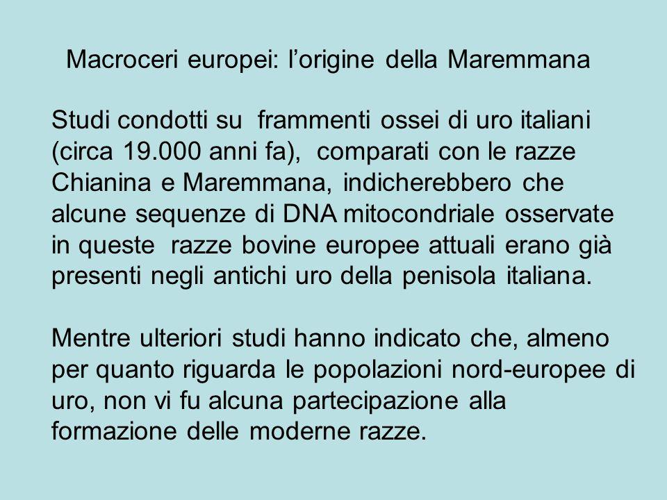 Macroceri europei: l'origine della Maremmana Studi condotti su frammenti ossei di uro italiani (circa 19.000 anni fa), comparati con le razze Chianina