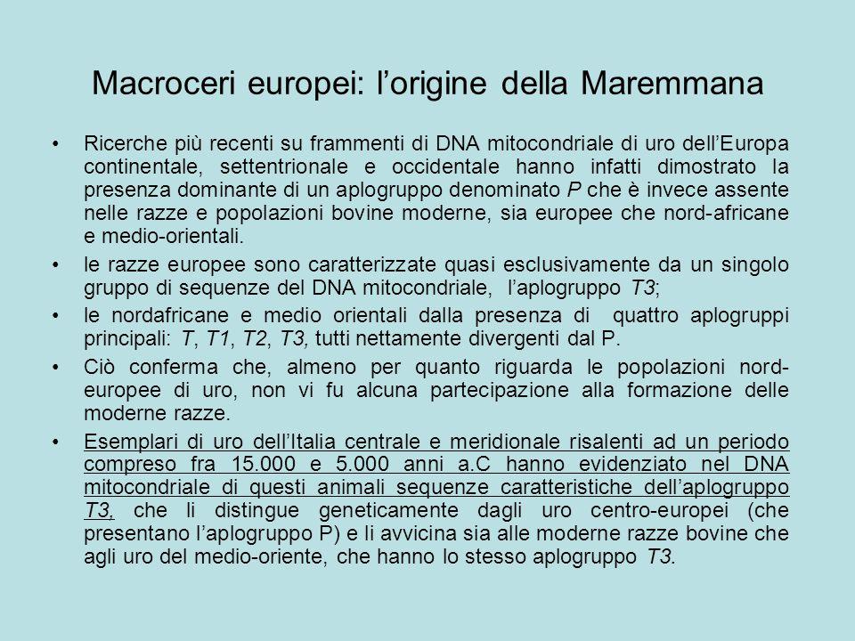 Macroceri europei: l'origine della Maremmana Ricerche più recenti su frammenti di DNA mitocondriale di uro dell'Europa continentale, settentrionale e