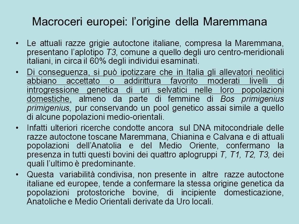 Macroceri europei: l'origine della Maremmana Le attuali razze grigie autoctone italiane, compresa la Maremmana, presentano l'aplotipo T3, comune a que