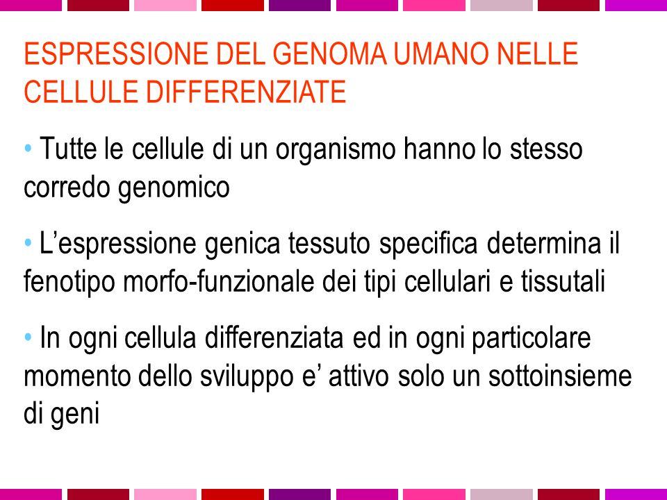 ESPRESSIONE DEL GENOMA UMANO NELLE CELLULE DIFFERENZIATE Tutte le cellule di un organismo hanno lo stesso corredo genomico L'espressione genica tessuto specifica determina il fenotipo morfo-funzionale dei tipi cellulari e tissutali In ogni cellula differenziata ed in ogni particolare momento dello sviluppo e' attivo solo un sottoinsieme di geni