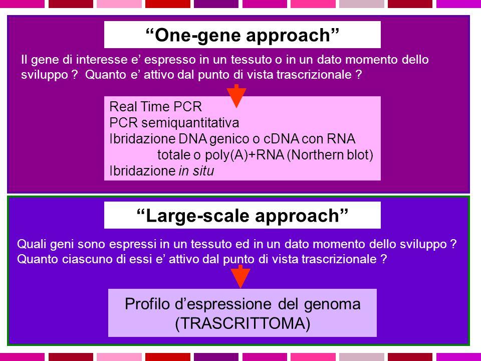 One-gene approach Il gene di interesse e' espresso in un tessuto o in un dato momento dello sviluppo .