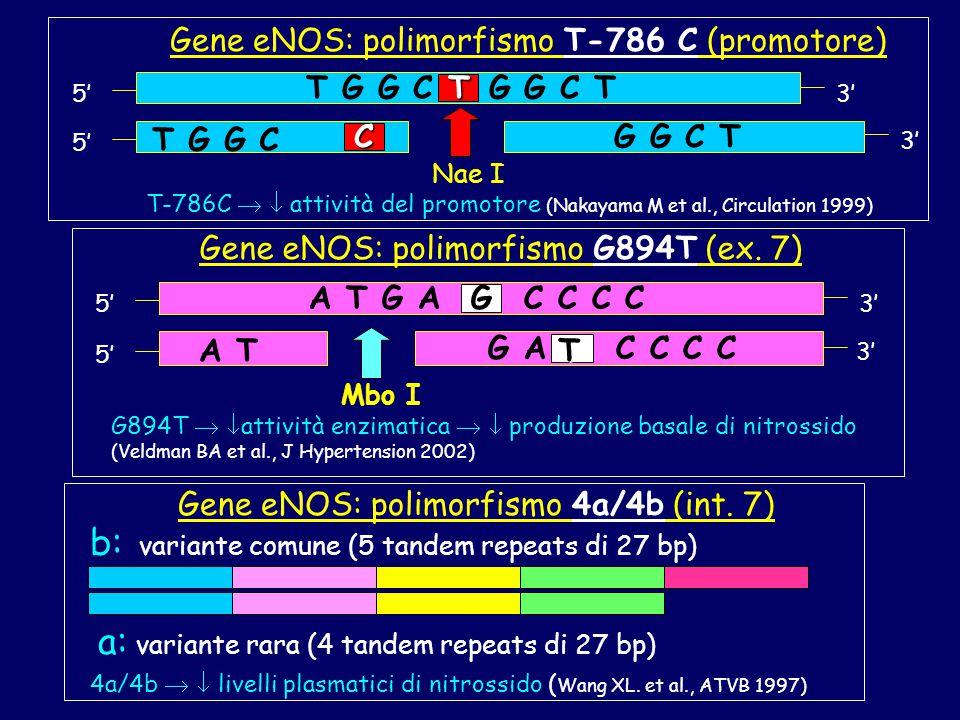 Gene eNOS: polimorfismo T-786 C (promotore) 5' T G G C G G C T 3' T G G C T 3' 5' C T G G C Nae I T-786C   attività del promotore (Nakayama M et al., Circulation 1999) Gene eNOS: polimorfismo G894T (ex.