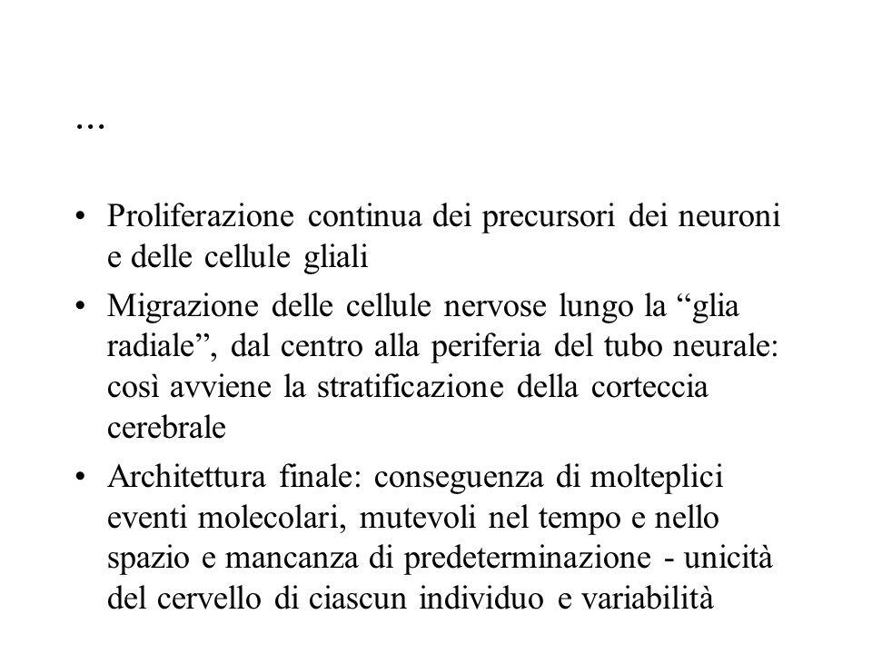 """... Proliferazione continua dei precursori dei neuroni e delle cellule gliali Migrazione delle cellule nervose lungo la """"glia radiale"""", dal centro all"""