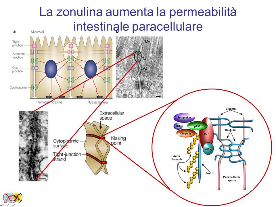 La zonulina aumenta la permeabilità intestinale paracellulare