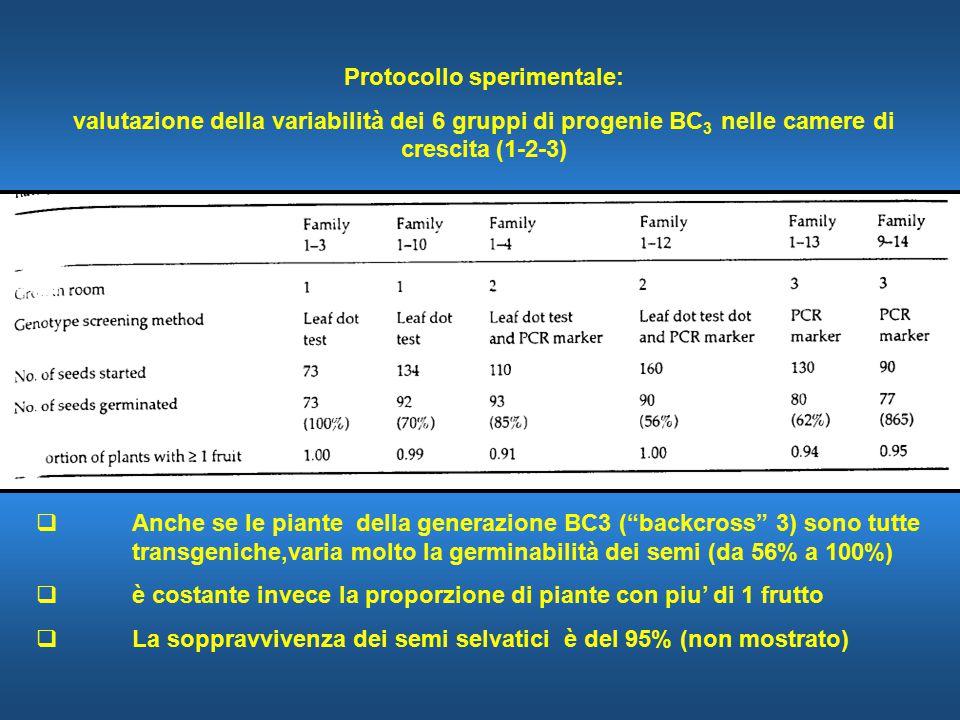 Protocollo sperimentale: valutazione della variabilità dei 6 gruppi di progenie BC 3 nelle camere di crescita (1-2-3)  Anche se le piante della generazione BC3 ( backcross 3) sono tutte transgeniche,varia molto la germinabilità dei semi (da 56% a 100%)  è costante invece la proporzione di piante con piu' di 1 frutto  La soppravvivenza dei semi selvatici è del 95% (non mostrato)