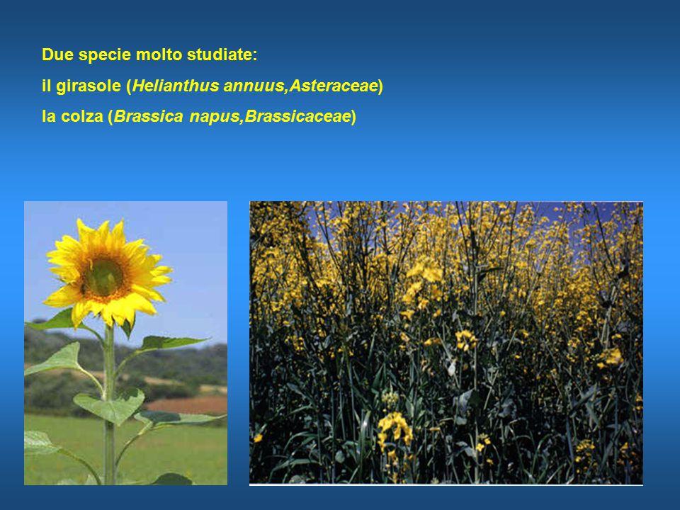 Due specie molto studiate: il girasole (Helianthus annuus,Asteraceae) la colza (Brassica napus,Brassicaceae)