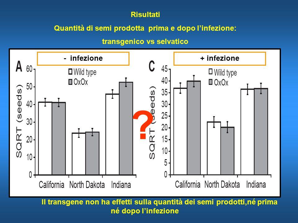 Risultati Quantità di semi prodotta prima e dopo l'infezione: transgenico vs selvatico - infezione+ infezione Il transgene non ha effetti sulla quantità dei semi prodotti,né prima né dopo l'infezione