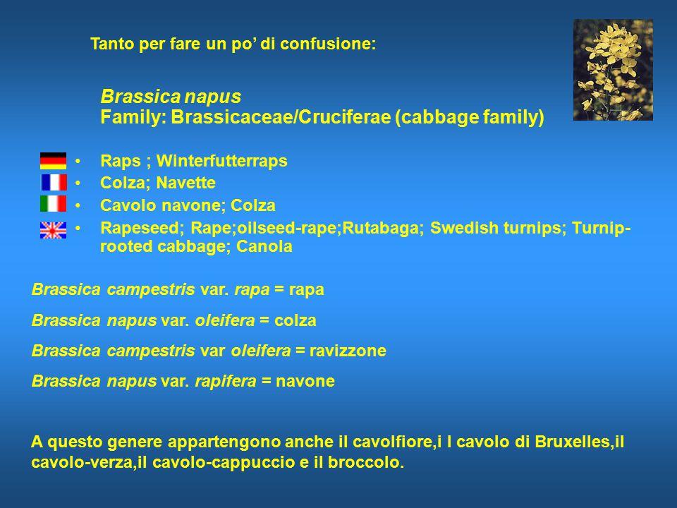 Brassica napus Family: Brassicaceae/Cruciferae (cabbage family) Raps ; Winterfutterraps Colza; Navette Cavolo navone; Colza Rapeseed; Rape;oilseed-rape;Rutabaga; Swedish turnips; Turnip- rooted cabbage; Canola Brassica campestris var.