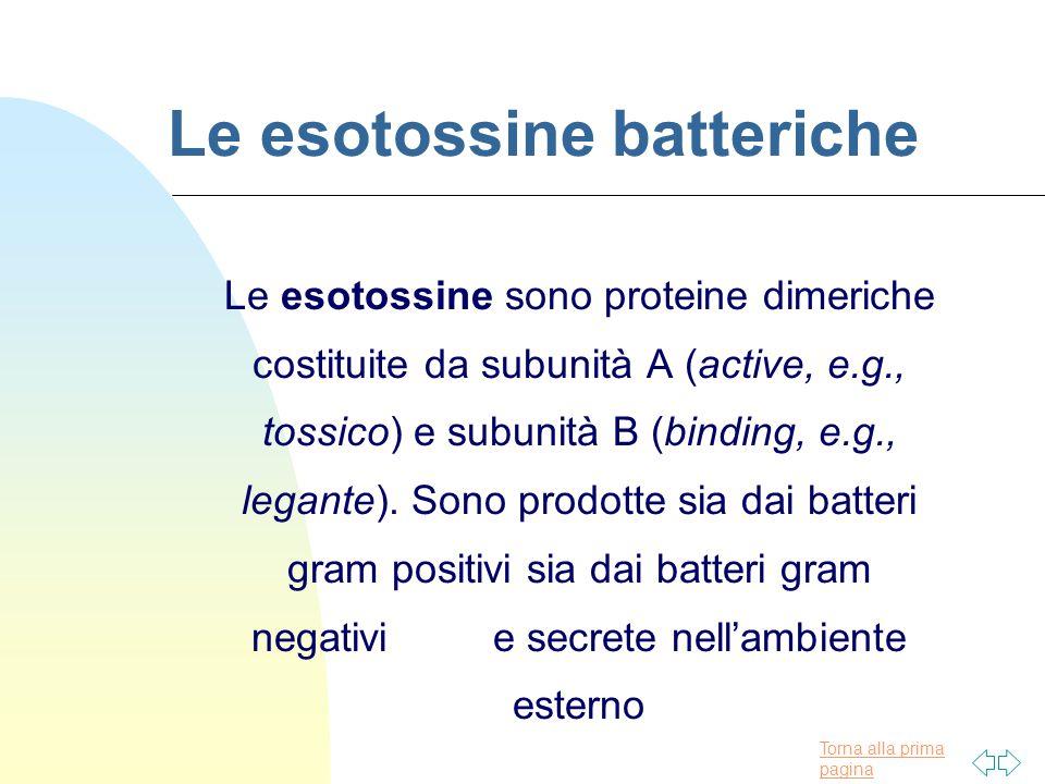 Torna alla prima pagina Le esotossine batteriche Le esotossine sono proteine dimeriche costituite da subunità A (active, e.g., tossico) e subunità B (binding, e.g., legante).
