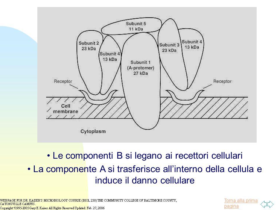 Torna alla prima pagina Le componenti B si legano ai recettori cellulari La componente A si trasferisce all'interno della cellula e induce il danno cellulare