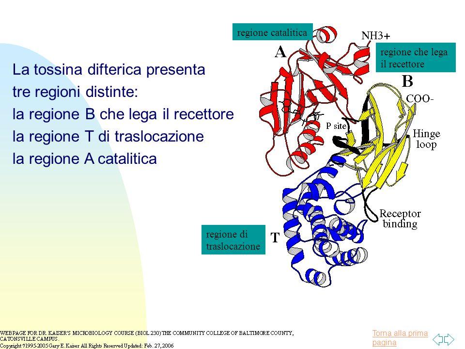 Torna alla prima pagina regione che lega il recettore regione catalitica regione di traslocazione La tossina difterica presenta tre regioni distinte: la regione B che lega il recettore la regione T di traslocazione la regione A catalitica