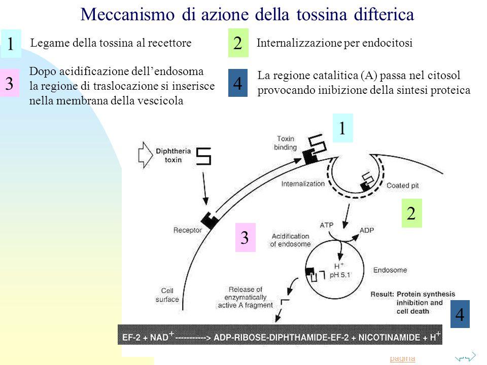 Torna alla prima pagina Legame della tossina al recettoreInternalizzazione per endocitosi Dopo acidificazione dell'endosoma la regione di traslocazione si inserisce nella membrana della vescicola La regione catalitica (A) passa nel citosol provocando inibizione della sintesi proteica Meccanismo di azione della tossina difterica 1 2 2 3 3 4 4 1
