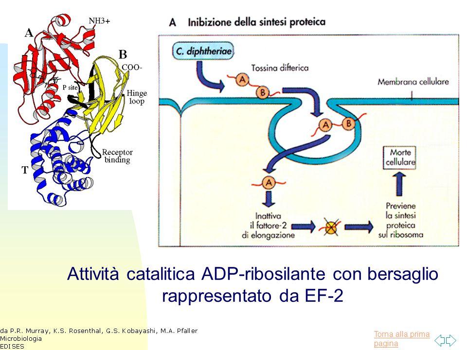 Torna alla prima pagina Attività catalitica ADP-ribosilante con bersaglio rappresentato da EF-2