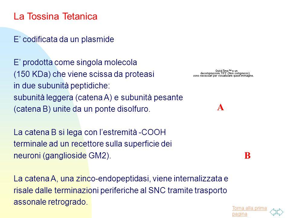 Torna alla prima pagina La Tossina Tetanica E' codificata da un plasmide E' prodotta come singola molecola (150 KDa) che viene scissa da proteasi in due subunità peptidiche: subunità leggera (catena A) e subunità pesante (catena B) unite da un ponte disolfuro.