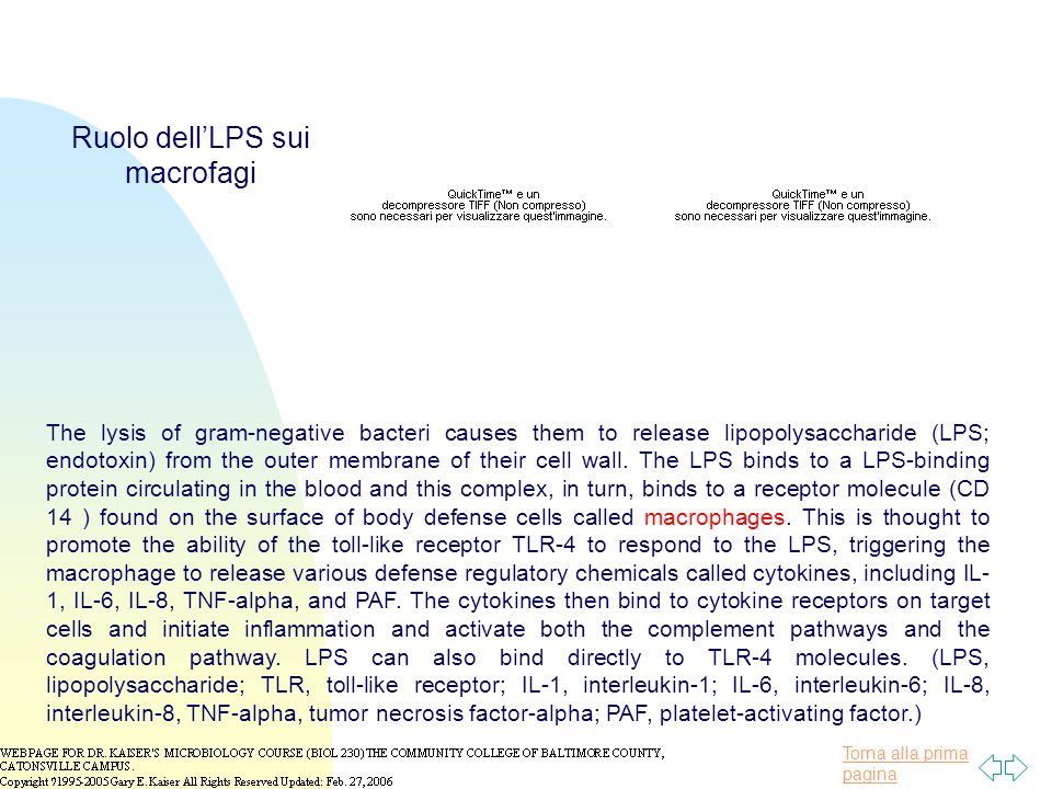 Torna alla prima pagina The lysis of gram-negative bacteri causes them to release lipopolysaccharide (LPS; endotoxin) from the outer membrane of their