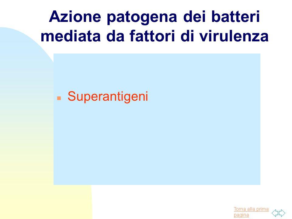 Torna alla prima pagina Azione patogena dei batteri mediata da fattori di virulenza n Superantigeni