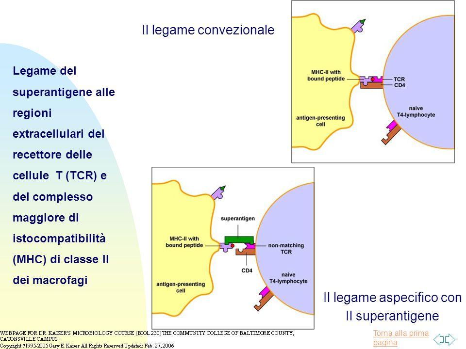 Torna alla prima pagina Legame del superantigene alle regioni extracellulari del recettore delle cellule T (TCR) e del complesso maggiore di istocompatibilità (MHC) di classe II dei macrofagi Il legame convezionale Il legame aspecifico con Il superantigene