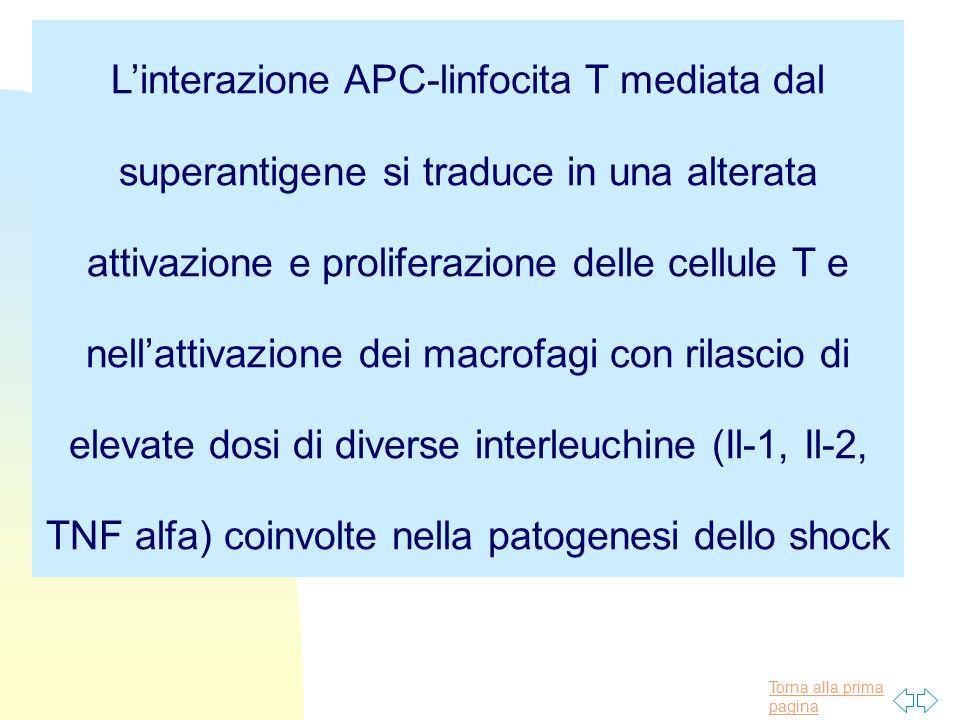 Torna alla prima pagina L'interazione APC-linfocita T mediata dal superantigene si traduce in una alterata attivazione e proliferazione delle cellule T e nell'attivazione dei macrofagi con rilascio di elevate dosi di diverse interleuchine (Il-1, Il-2, TNF alfa) coinvolte nella patogenesi dello shock
