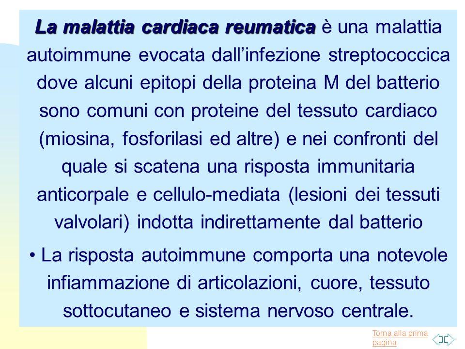 Torna alla prima pagina La malattia cardiaca reumatica La malattia cardiaca reumatica è una malattia autoimmune evocata dall'infezione streptococcica dove alcuni epitopi della proteina M del batterio sono comuni con proteine del tessuto cardiaco (miosina, fosforilasi ed altre) e nei confronti del quale si scatena una risposta immunitaria anticorpale e cellulo-mediata (lesioni dei tessuti valvolari) indotta indirettamente dal batterio La risposta autoimmune comporta una notevole infiammazione di articolazioni, cuore, tessuto sottocutaneo e sistema nervoso centrale.