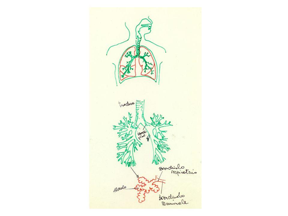 L'aria all'interno di ciascun alveolo l'aria è costituita da una bolla di gas rivestita da uno velo di acqua All'interfaccia aria-acqua la forza di coesione delle molecole di acqua fa in modo che il volume della bolla di aria tenda ad essere compresso e comunque si oppone all'espansione del gas
