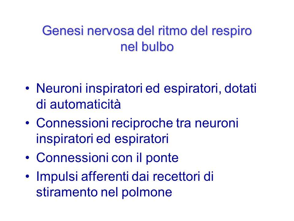 Genesi nervosa del ritmo del respiro nel bulbo Neuroni inspiratori ed espiratori, dotati di automaticità Connessioni reciproche tra neuroni inspirator