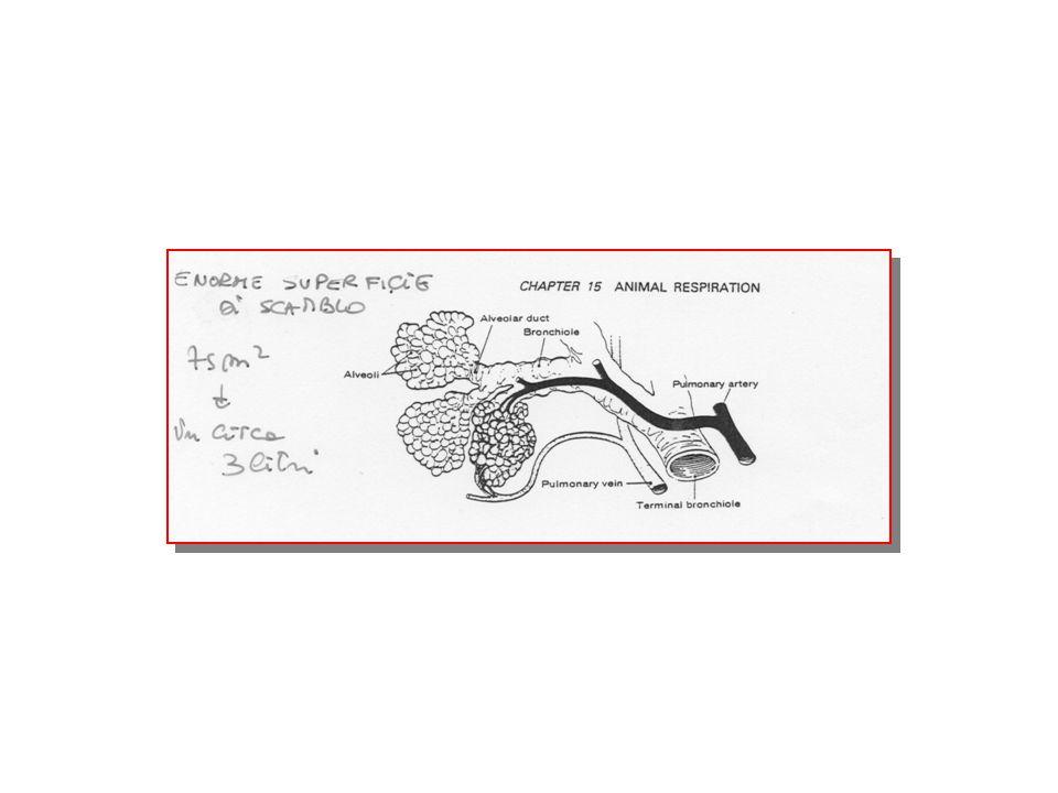 Volumi polmonari Volume di riserva inspiratoria (2500-3000) Volume corrente di riposo (500 ml/min) Volume di riserva respiratoria (1000) Volume residuo (1000)