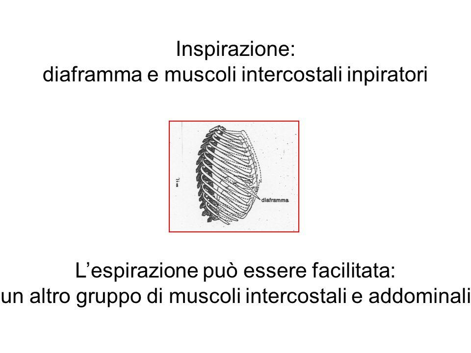 Inspirazione: diaframma e muscoli intercostali inpiratori L'espirazione può essere facilitata: un altro gruppo di muscoli intercostali e addominali
