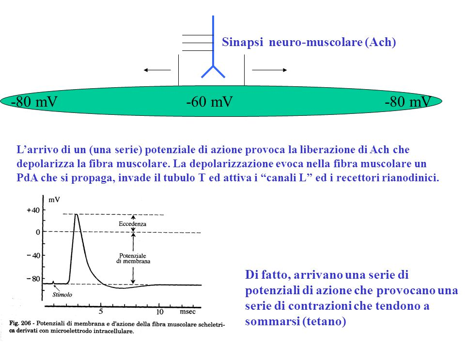 -80 mV -60 mV -80 mV Sinapsi neuro-muscolare (Ach) L'arrivo di un (una serie) potenziale di azione provoca la liberazione di Ach che depolarizza la fi