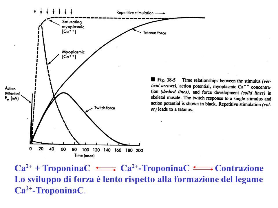 Ca 2+ + TroponinaC Ca 2+ -TroponinaC Contrazione Lo sviluppo di forza è lento rispetto alla formazione del legame Ca 2+ -TroponinaC.