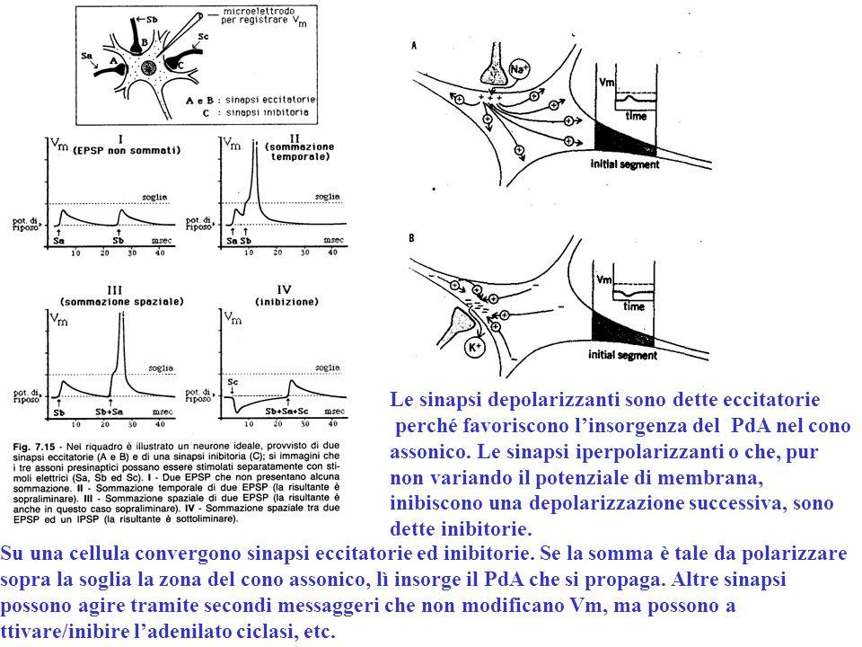 Le sinapsi depolarizzanti sono dette eccitatorie perché favoriscono l'insorgenza del PdA nel cono assonico. Le sinapsi iperpolarizzanti o che, pur non
