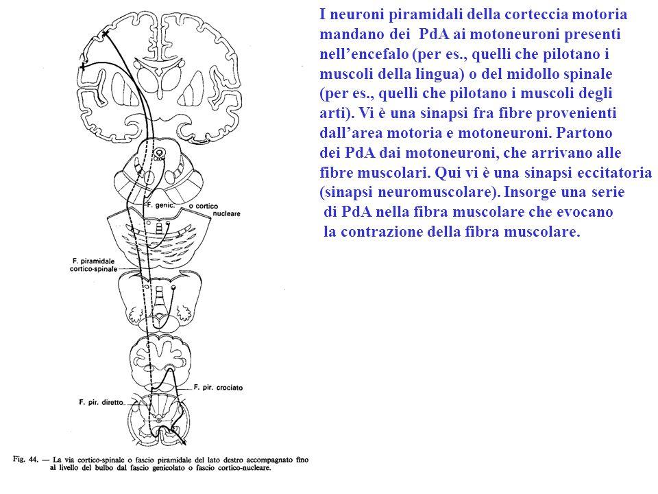 I neuroni piramidali della corteccia motoria mandano dei PdA ai motoneuroni presenti nell'encefalo (per es., quelli che pilotano i muscoli della lingua) o del midollo spinale (per es., quelli che pilotano i muscoli degli arti).