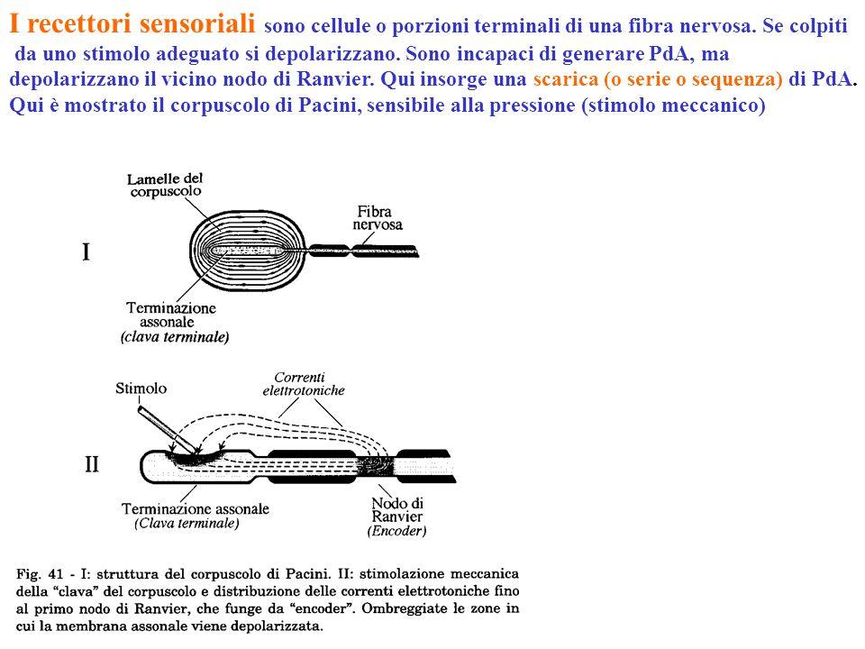 I recettori sensoriali sono cellule o porzioni terminali di una fibra nervosa. Se colpiti da uno stimolo adeguato si depolarizzano. Sono incapaci di g