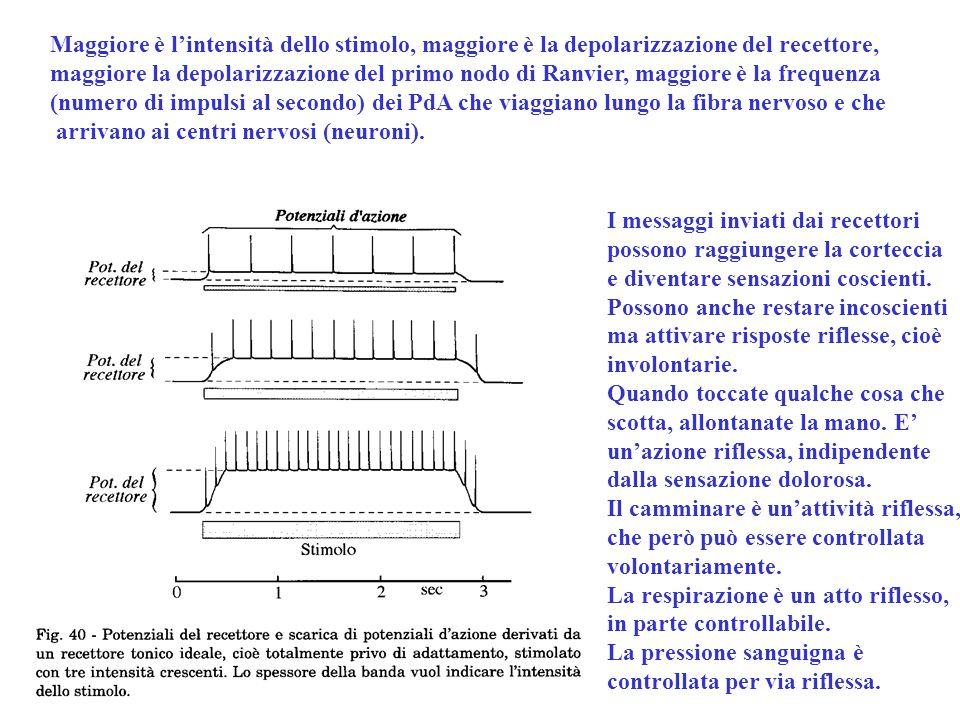 Maggiore è l'intensità dello stimolo, maggiore è la depolarizzazione del recettore, maggiore la depolarizzazione del primo nodo di Ranvier, maggiore è