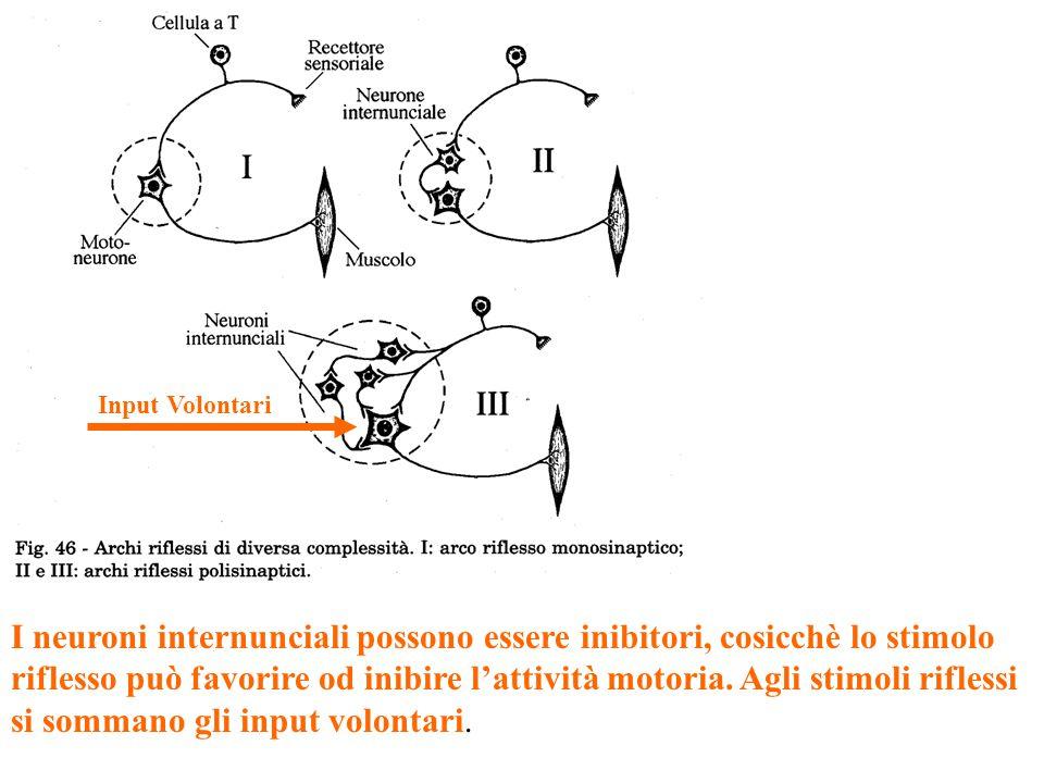 I neuroni internunciali possono essere inibitori, cosicchè lo stimolo riflesso può favorire od inibire l'attività motoria.
