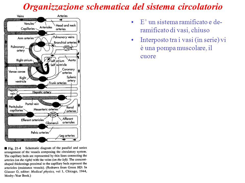 Organizzazione schematica del sistema circolatorio E' un sistema ramificato e de- ramificato di vasi, chiuso Interposto tra i vasi (in serie) vi è una pompa muscolare, il cuore