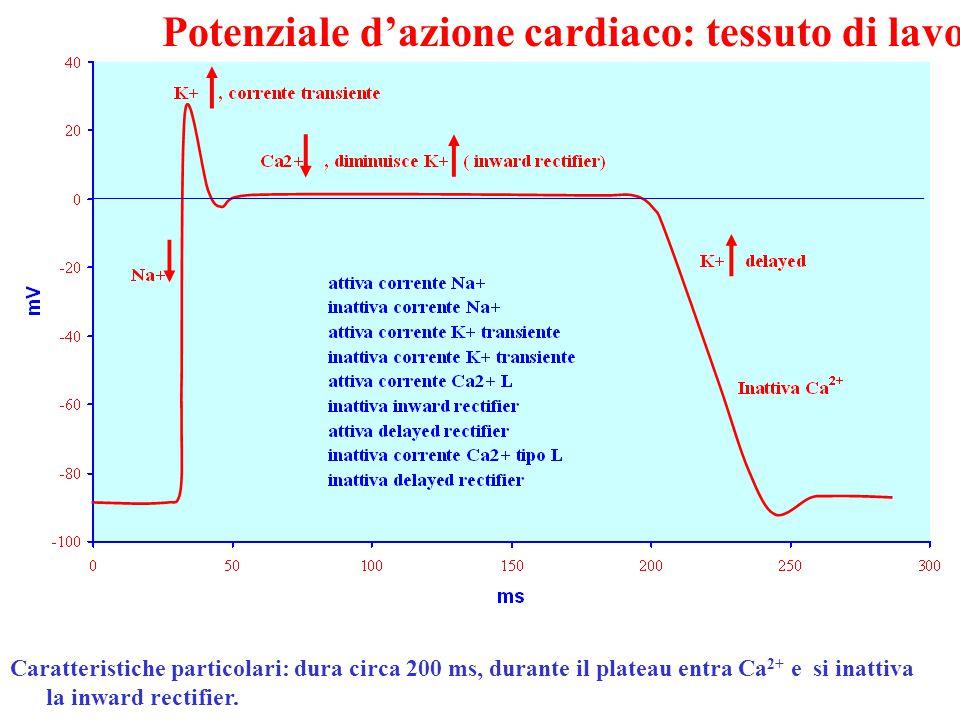 Potenziale d'azione cardiaco: tessuto di lavoro Caratteristiche particolari: dura circa 200 ms, durante il plateau entra Ca 2+ e si inattiva la inward rectifier.