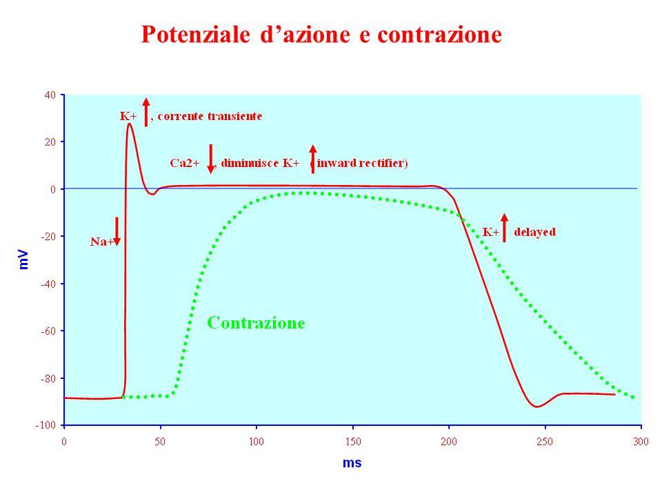 Potenziale d'azione e contrazione