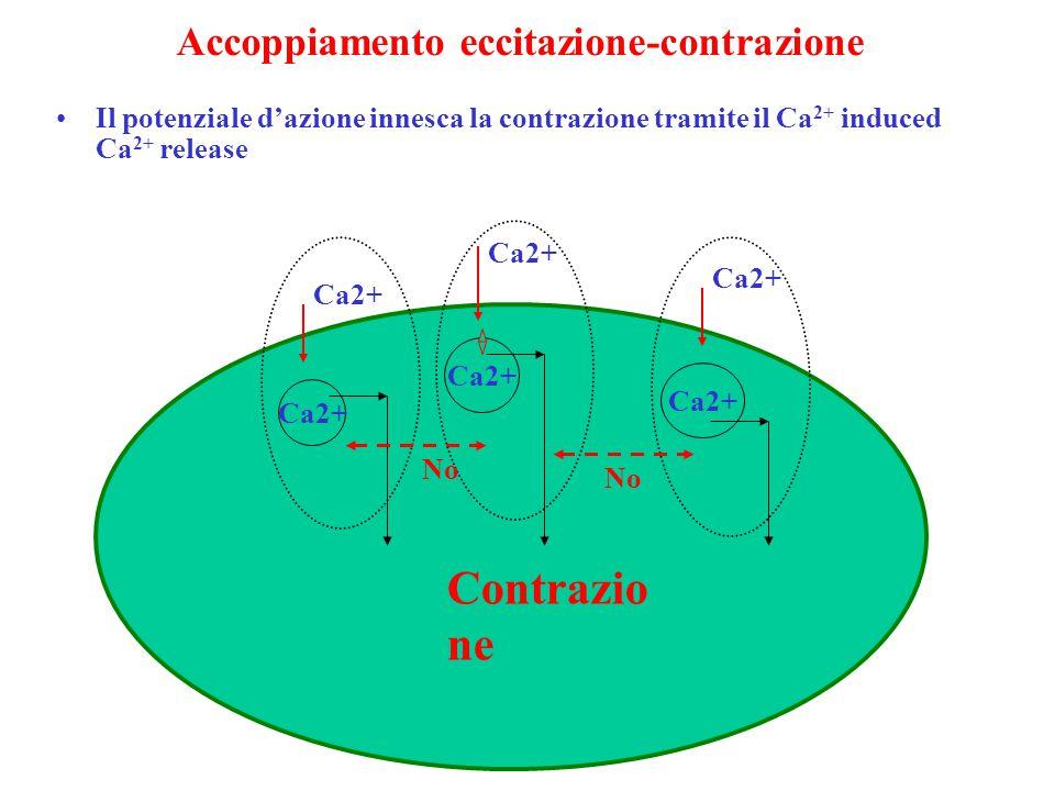 Accoppiamento eccitazione-contrazione Il potenziale d'azione innesca la contrazione tramite il Ca 2+ induced Ca 2+ release Ca2+ Contrazio ne No