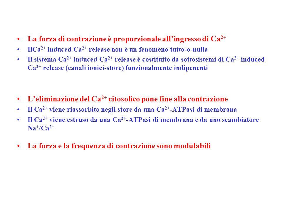 La forza di contrazione è proporzionale all'ingresso di Ca 2+ IlCa 2+ induced Ca 2+ release non è un fenomeno tutto-o-nulla Il sistema Ca 2+ induced Ca 2+ release è costituito da sottosistemi di Ca 2+ induced Ca 2+ release (canali ionici-store) funzionalmente indipenenti L'eliminazione del Ca 2+ citosolico pone fine alla contrazione Il Ca 2+ viene riassorbito negli store da una Ca 2+ -ATPasi di membrana Il Ca 2+ viene estruso da una Ca 2+ -ATPasi di membrana e da uno scambiatore Na + /Ca 2+ La forza e la frequenza di contrazione sono modulabili