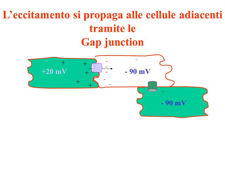 + + + + + +20 mV- 90 mV L'eccitamento si propaga alle cellule adiacenti tramite le Gap junction