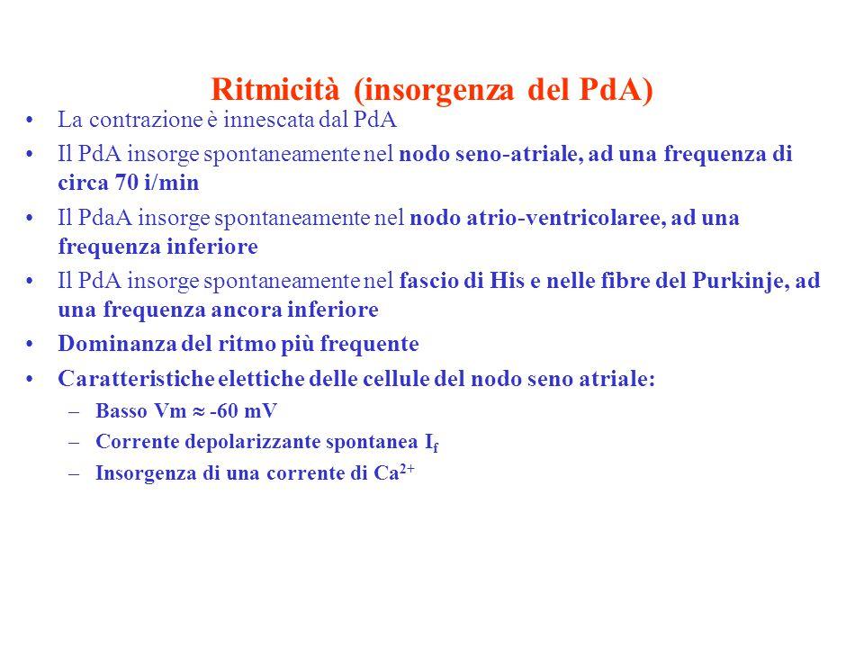 Ritmicità (insorgenza del PdA) La contrazione è innescata dal PdA Il PdA insorge spontaneamente nel nodo seno-atriale, ad una frequenza di circa 70 i/min Il PdaA insorge spontaneamente nel nodo atrio-ventricolaree, ad una frequenza inferiore Il PdA insorge spontaneamente nel fascio di His e nelle fibre del Purkinje, ad una frequenza ancora inferiore Dominanza del ritmo più frequente Caratteristiche elettiche delle cellule del nodo seno atriale: –Basso Vm  -60 mV –Corrente depolarizzante spontanea I f –Insorgenza di una corrente di Ca 2+