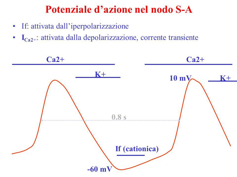 Potenziale d'azione nel nodo S-A 10 mV If (cationica) Ca2+ -60 mV If: attivata dall'iperpolarizzazione I Ca2+ : attivata dalla depolarizzazione, corrente transiente K+ 0.8 s