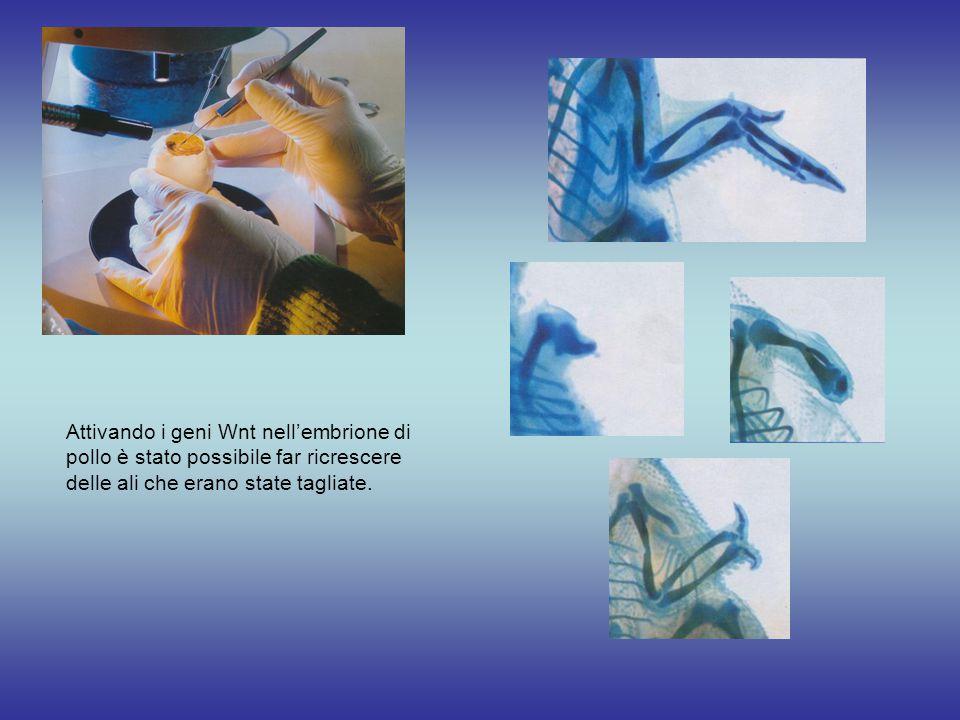 Attivando i geni Wnt nell'embrione di pollo è stato possibile far ricrescere delle ali che erano state tagliate.