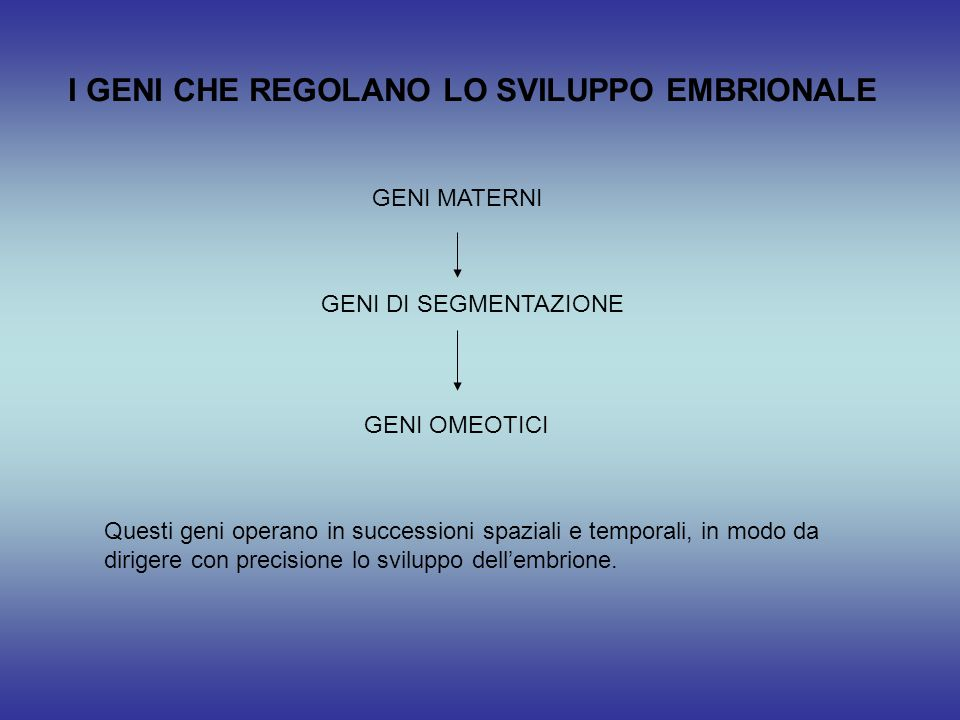 I GENI CHE REGOLANO LO SVILUPPO EMBRIONALE GENI MATERNI GENI DI SEGMENTAZIONE GENI OMEOTICI Questi geni operano in successioni spaziali e temporali, i