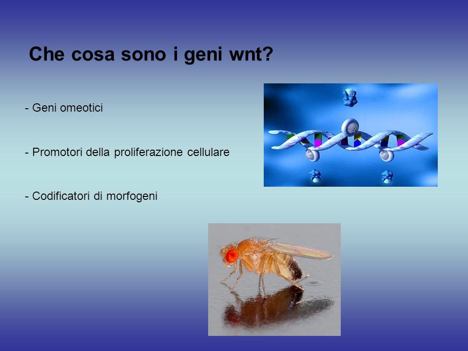 Che cosa sono i geni wnt? - Promotori della proliferazione cellulare - Geni omeotici - Codificatori di morfogeni