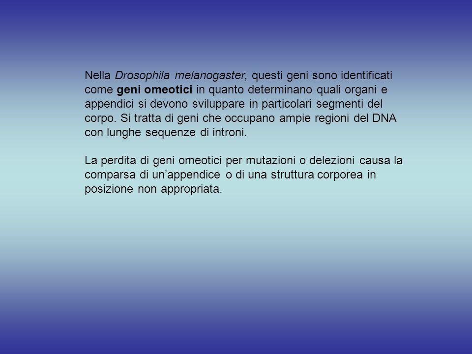 Nella Drosophila melanogaster, questi geni sono identificati come geni omeotici in quanto determinano quali organi e appendici si devono sviluppare in