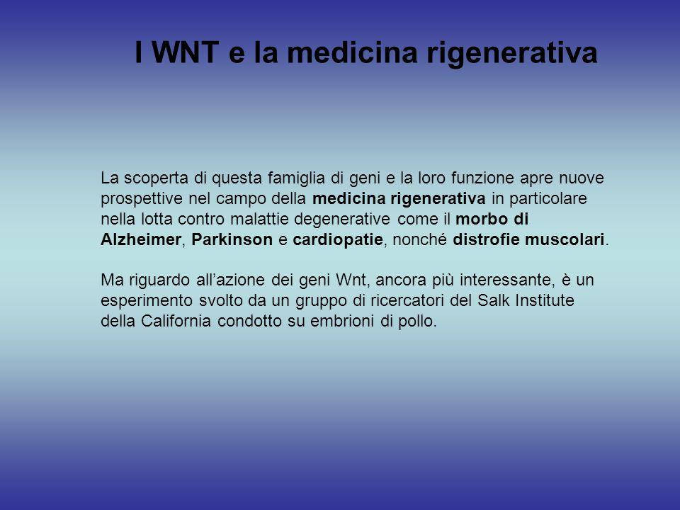 I WNT e la medicina rigenerativa La scoperta di questa famiglia di geni e la loro funzione apre nuove prospettive nel campo della medicina rigenerativ