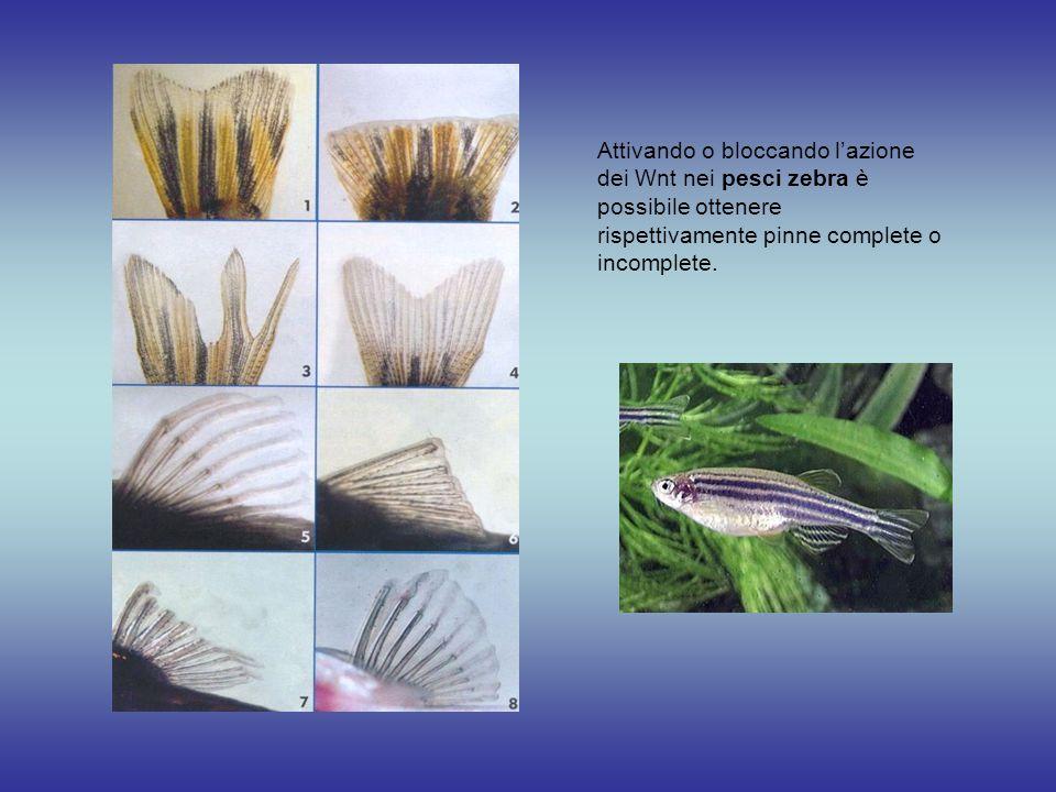 Attivando o bloccando l'azione dei Wnt nei pesci zebra è possibile ottenere rispettivamente pinne complete o incomplete.